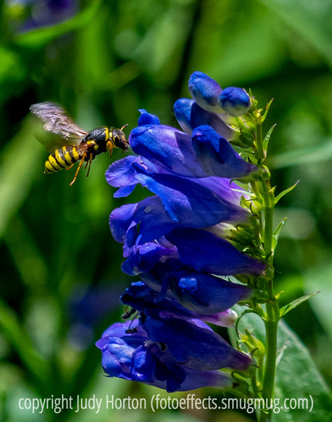 Yellow Jacket at the Penstemon