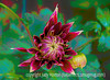 Dahlia - a painterly version - this is a new variety of dahlia for me this year and I absolutely LOVE it colors and markings!