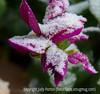 Burgundy dahlia with snow