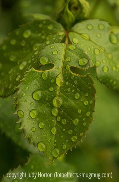 Raindrops on Rose Leaves