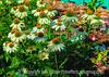 Echinacea - sort of watercolor version