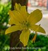 Daylily, Hemerocallis