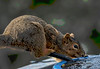 Squirrel Drinking from the Fountain; the conduit it is sitting on goes to the heater that keeps the fountain from freezing over during the winter.  You can see a difference in two spots of fur near its shoulder.  This is the female squirrel that I posted some time ago with an open wound on its shoulder, which is now healed.  If you look very closely, you can see a large drop of water that is being sucked into its mouth.  I have watched the squirrel drink many times and have never seen a tongue come out, so I think they sort of suck the water into their mouths.