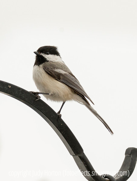 Chickadee - quite a severe crop, but the D800 came through anyway