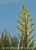 Yucca Buds