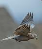 Asian Collared Dove