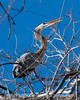 1/22/16 - A great blue heron trying to break off a branch to take back to use in building its nest.  I always imagined they used branches that had fallen off, but they go after live branches on the tree.  One of the things I observed was that the birds that chose smaller branches were able to cut  and take to their mates many more branches than those that tried to cut larger branches.  I speculate that the more experienced males have learned this lesson but the younger males still have not figured out that they are wasting a lot of time trying to cut the bigger branches.<br /> <br /> Thanks for your comments on my prior post of the great blue herons.