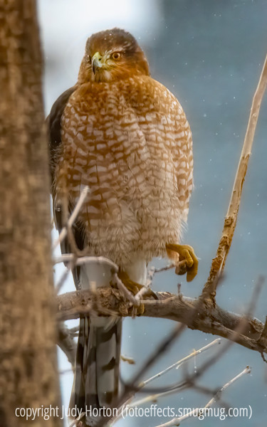 Cooper's Hawk in the Snow - he sat in a tree in my backyard for about 20 minutes.