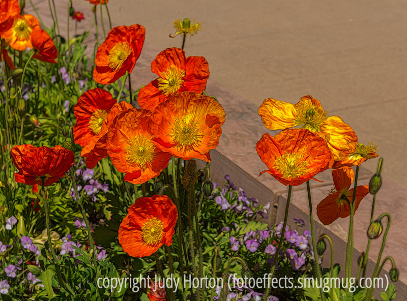 Shirley or Iceland Poppies, not sure which