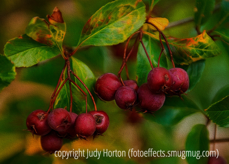 Hawthorne Fruit in Autumn, with painterly effects