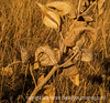 Dried milkweed pods and leaves, with some painterly effects