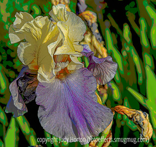 German Bearded Iris - I played around a lot with this image; this is a posterized version;; if any of you are interested in seeing the other versions, they can be found here:  https://fotoeffects.smugmug.com/Flowers/Flora-and-Fauna-2/i-MhKfddn