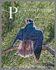 P is for Peregrine Falcon!