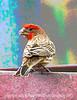 Purple Finch - posterized version