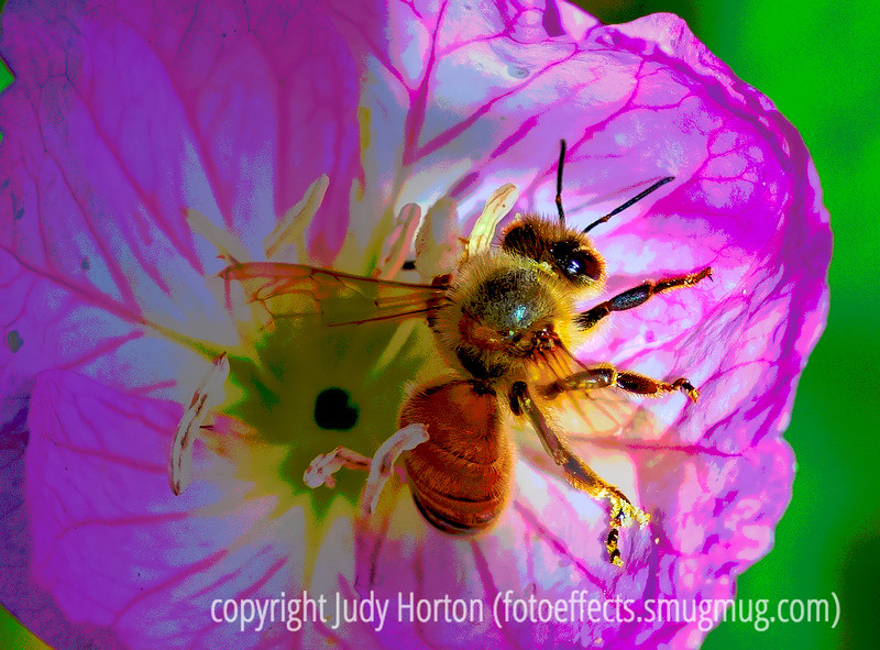 Bee in the Evening Primrose