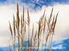 Pampas Grass with some painterly effects