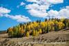 Golden Aspen in Colorado