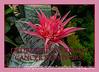 Urn Plant (Bromeliad)