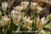 Tulips<br /> <br /> Thanks to everyone who found and commented on my shot of the magpie.