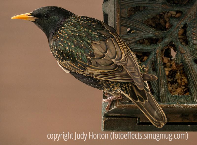 4/27/16 - Starling