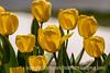 4/26/16 - Darwin Tulips