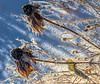 Gloriosa Daisy Seedheads with Hoarfrost