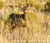Deer in Great Sand Dunes National Park