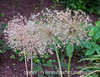 Floral Fireworks - Allium