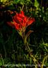 Scarlet Paintbrush (Castelleja miniata)