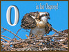O is for Osprey!