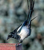 Magpie - balancing in the wind