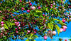 Crabapple Fruits, Buds and Blooms