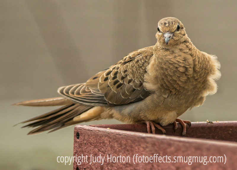 Puffed Up and Windblown White-Winged Dove