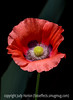 5/19/15 - Poppy; good detail in the largest size, I think.  This is a cropped version of a photo with several poppies.  I wanted to showcase this poppy.<br /> <br /> Thanks for your comments on my shot of the double poppy.  I surely appreciate your taking the time to look and comment.  Even though our numbers on the dailies are smaller, the quality of the work displayed there continues to amaze and inspire me.  Hurrah for the dailies!