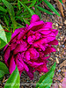 Peony - one I purchased a few years ago that did not have a variety name.  I think it is a very common variety.