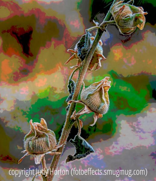 Hollyhock Seedheads