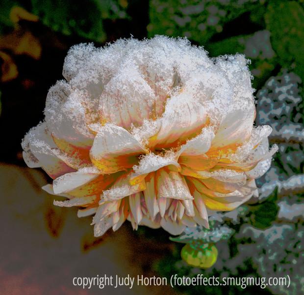 Snow on Dahlia - posterized version