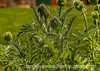 Oriental Poppy Buds - check it out in the largest size