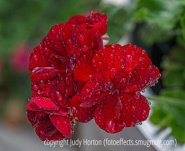 """Geranium with Raindrops - tomorrow is """"Q"""" Day in the Alphabet Challenge!"""