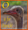 O is for Ostrich!