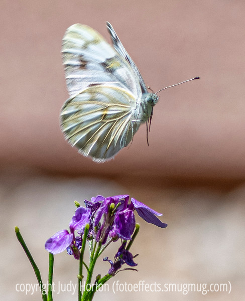 White Butterfly in Flight (the consensus seems to be that this is probably a checkered white butterfly, or, perhaps, a cabbage butterfly)