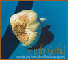 G is for Garlic - I have two entries this week