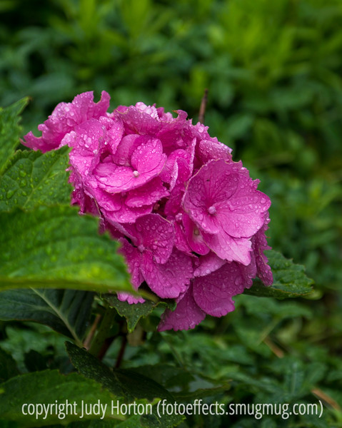Pink Hydrangea with Water Drops