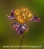 German Bearded Iris, Painterly Effects