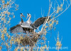 Male Great Blue Heron Returns to His Mate and the Nest; best viewed in the largest size