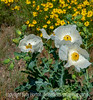 Prickly Poppies - make me feel warmer on a cold day like today.