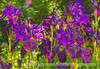 German Bearded Iris with Painterly Effects