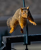 Squirrel Jumping - not the greatest shot, in terms of getting the head in focus, but I was pleased to get it.