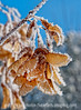 """1/1/15 - Happy New Year, everyone!  I hope you all had a safe and fun New Year's Eve.  This is a shot of hoarfrost on maple seedheads.  It seemed appropriate for today, as we are having quite a snowstorm, even though the weather forecast says """"mostly clear.""""  We're waiting for that part!<br /> <br /> Thanks for your comments on my shot of Spencer at the Fine Arts Museum.  I was busy with family all day and night so I had no chance to comment."""