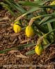 5/6/16 - Daffodil Buds